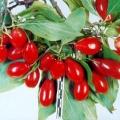 Цінна ягода - кизил