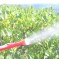 Чим обприскувати виноград від хвороб і шкідників?