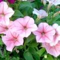 Чим підгодовувати петунію для рясного цвітіння?