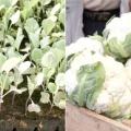 Чим підгодувати цвітну капусту?