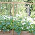 Чим підгодувати огірки в липні?