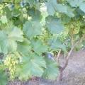 Чим підгодувати виноград у травні?