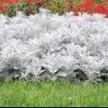 Цинерарія срібляста: посадка і догляд