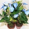 Як пересадити антуріум, якщо він цвіте?