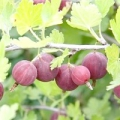 Як пересадити агрус восени?