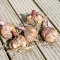 Як пересаджувати лілії восени?