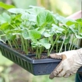 Як доглядати за розсадою огірків?