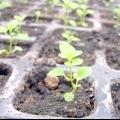 Як доглядати за розсадою петунії?