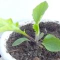 Як виростити герберу з насіння в домашніх умовах?