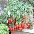 Як виростити помідори черрі на підвіконні?