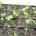 Як виростити розсаду кореневої селери?