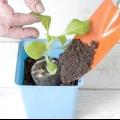 Як виростити розсаду петунії в домашніх умовах?