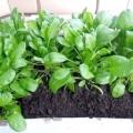 Як виростити шпинат на підвіконні?