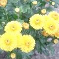 Корейська хризантема: посадка і догляд