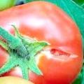 Чому тріскаються помідори в теплиці?