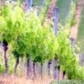 Чому виноград не плодоносять?