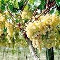 Догляд за виноградом в середній смузі