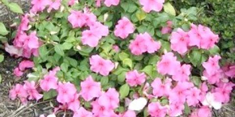 Бальзамін садовий: вирощування з насіння
