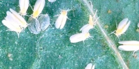 Як позбутися від білокрилки в теплиці?