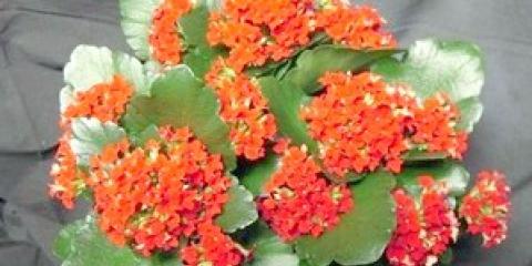 Як доглядати за квітучим каланхое в домашніх умовах?