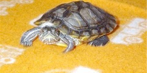 """Прикмета """"черепаха в домі"""""""
